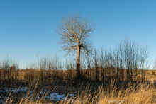 А Lonely Crooked Tree Rises Above The Bushes. Early Spring With Clear Blue Skies And Remnants Of Snow In The Fields