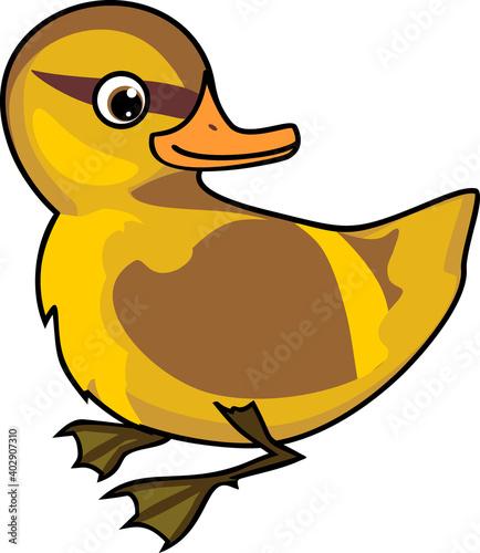 Canvas Print Duckling mallard or wild duck (Anas platyrhynchos) isolated on white background