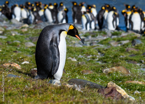 Lonely King Penguin standing by itself with the penguin colony in the background, St Fototapet