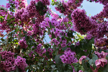 Bougainvillea Tree With Pink Flowers And Blue Sky