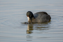 American Coot Duck Eating Food From Water Surface .