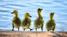 Four Young Chicks