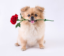 Cute Puppies Pomeranian Mixed Breed Pekingese Dog Sitting With Rose In Mouth Isolated On White Background For Valentines Day