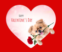 Cute Puppies Pomeranian Mixed Breed Pekingese Dog Sitting With Rose In Heart Shape For Valentines Day
