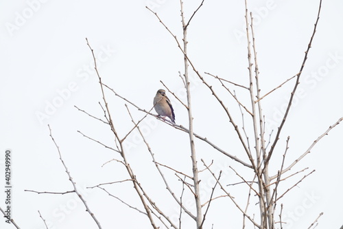 Fototapeta hawfinch on the branch