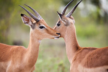 Closeup Of Two Young Impala Rams Grooming In The Kruger National Park