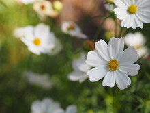 White Color Flower, Sulfur Cosmos, Mexican Aster Flowers Are Blooming Beautifully Springtime In The Garden, Blurred Of Nature Background