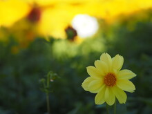 Yellow Color Flower, Sulfur Cosmos, Mexican Aster Flowers Are Blooming Beautifully Springtime In The Garden, Blurred Of Nature Background