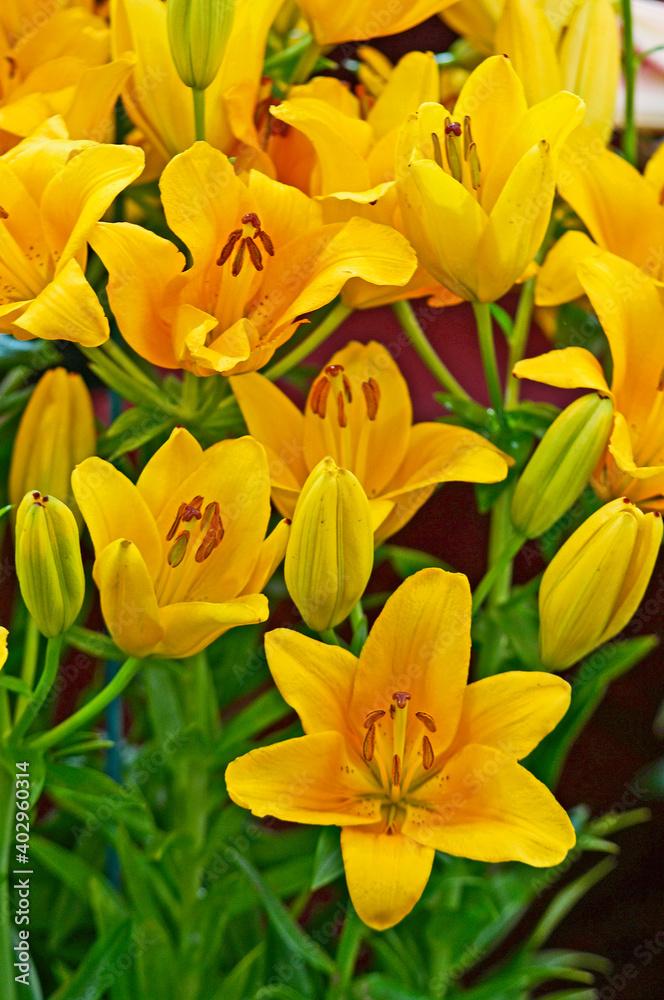 Lilium Asiatic 'Brazil' closeup in a flower border