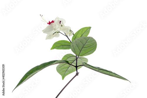 Foto Bleeding glory bower flower, Bleeding heart vine with green leaves, isolated on