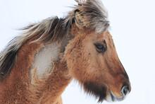 Portrait Of Brown Icelandic Horse In White Snowy Landscape