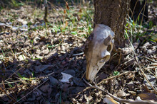 White-tail Deer Bones Discovered In The Austin, Texas Hill Country.