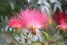 Pink Mimosa Flowers Growing On A Tree In A Garden. Albizia Julibrissin