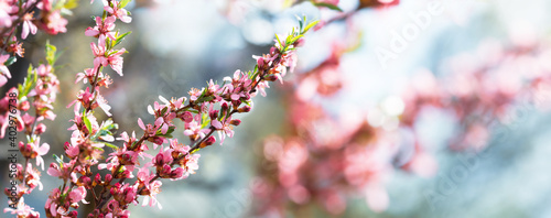 Obraz na plátně Blooming tree. Pink flowers on a almond tree. Spring  background