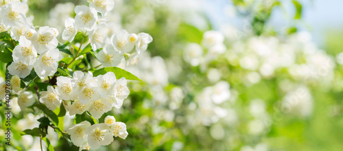 Tablou Canvas jasmine flowers in a garden