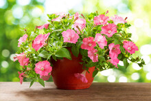 Petunias Flower In A Pot On A Green Background