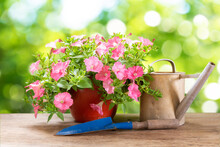 Petunias Flower In A Pot With Gardening Tools On A Wooden Table