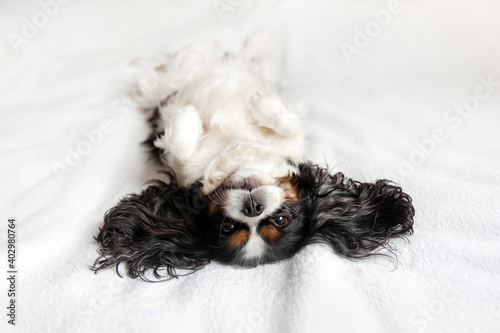 Fotografering Funny dog, cavalier spaniel relaxing on bed