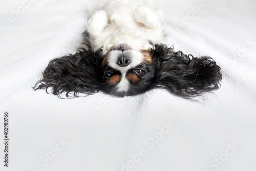 Billede på lærred Funny dog, cavalier spaniel relaxing on bed