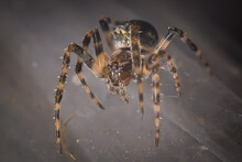 Orb-Weaver Spider (Larinioides)