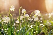 Spring Flowers In The Shining Sunlight , Leucojum Vernum, Called Spring Snowflake