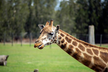 Rothschild Giraffe (scientific Name Giraffa Camelopardalis Rothschildi)