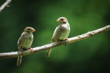 Perched Pair Of Sparrows