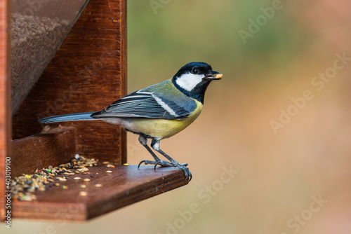 Canvas Print A great tit on a bird feeder holding a seed