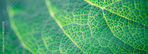 Green burdock leaf closeup. Macro photo for background. Fototapet
