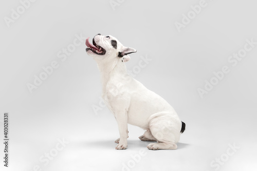 Obraz Waiting for miracle. French Bulldog young dog is posing. Cute playful white-black doggy or pet is playing and looking happy isolated on white background. Concept of motion, action, movement. - fototapety do salonu
