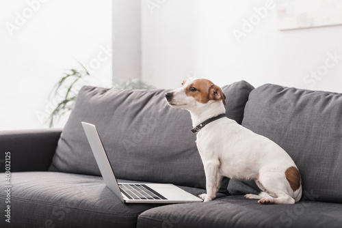 jack russell terrier near laptop on grey couch in modern living room