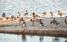 Canada Geese On Railroad Lake In Cornerstone Park, Henderson, NV.