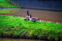 Close Up Of A Couple Canada Geese (Branta Canadensis)