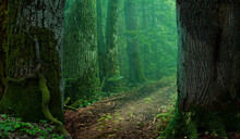 Forest Road Landscape. Thick Mossy Trees And Semi Transparent Green Haze