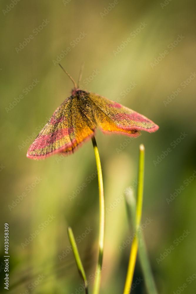 Fototapeta piękny motyl siedzący na łodydze trawy