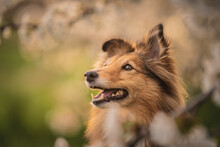 Close Up Portrait Of A Shetland Shepherd In A Cherry Blossom, Spring, Summertime, Flowers