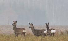 Winter Landscape Of Roe Deer Herd