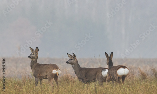 Fotografie, Obraz Winter landscape of roe deer herd