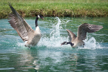 Canada Geese In Mock Battle During Mating Season.