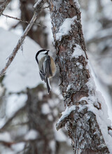 Black-capped Chickadee On A Red Cedar In Winter In Algonquin Park Ontario