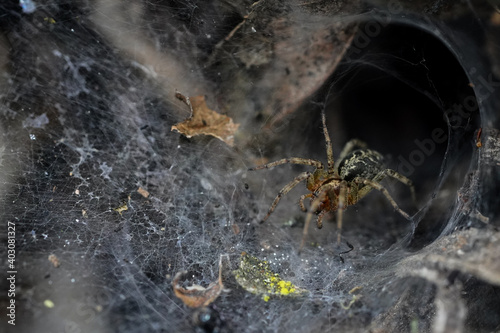 Fotografiet spider.