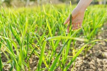 Garlic Growing, Hand With Green Garlic, Agricultural Field Background