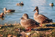 Two Female Of Wild Ducks Near The Water