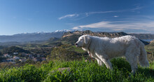 Beautiful Kuvasz Dog With A Beautiful Corsican Landscape In The Background