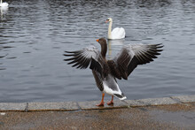 Greylag Goose Spreading Its Wings It Is The Largest Grey Geese And The Only Spices That Breeds In Britain The Adult Appears Bulky And Has Silvery-brown Plumage With Dark Lines On The Sides Of Its Neck