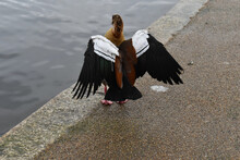 An Egyptian Goose Recognised By Its Apricot Breast Spreading Wings By Water In London Park Subtropical African Native It Was Brought To Britain As An Ornamental Bird For The Lakes Of Country Gentlemen