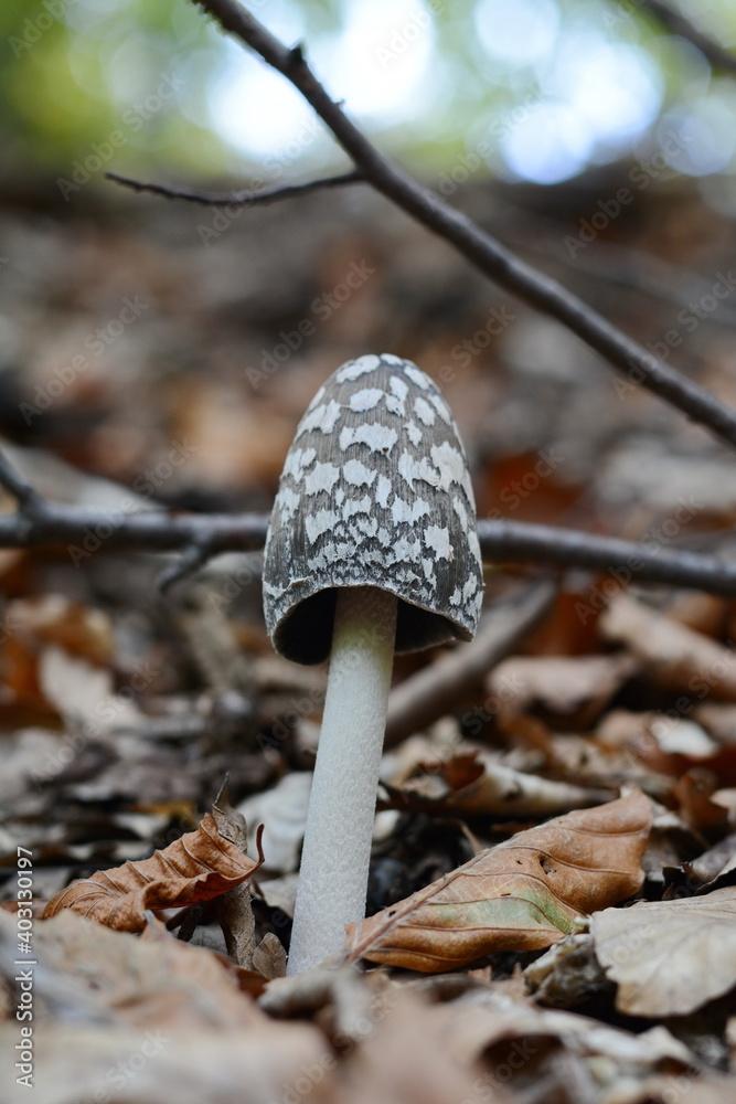 Fototapeta Coprinopsis picacea also known as Magpie fungus poisonous mushrooms in autumn forest.Coprinus picaceus.