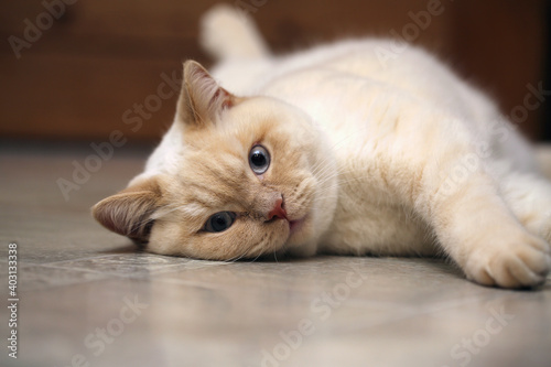 Photo A white english tomcat, biting his baby's hand while playing