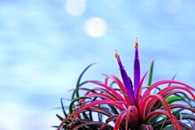 Beautiful Tillandsia Ionantha Mounted Air Plant With Bokeh From Blue Water Background.