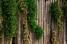 Old Wooden Fence Overgrown By Green Hedge Plants